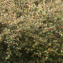 Load image into Gallery viewer, Cotoneaster Coral Beauty (Bearberry)