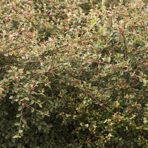 Cotoneaster Coral Beauty (Bearberry)