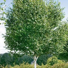 Load image into Gallery viewer, Betula utilis var. jacquemontii (White Barked Himalayan Birch)