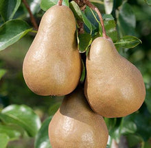 Load image into Gallery viewer, Pear Bosc