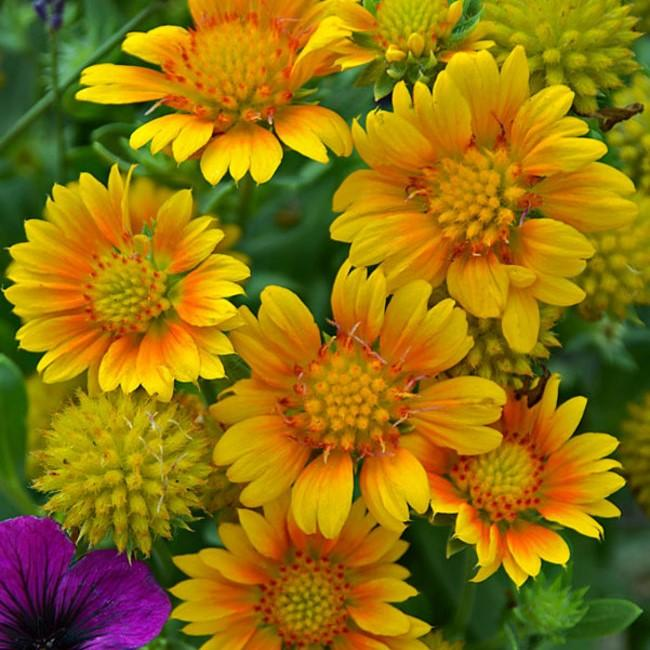 Gaillardia aristata 'Arizona Apricot' (Blanket Flower)