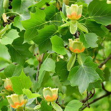 Load image into Gallery viewer, Liriodendron tulipifera (Tulip Tree)