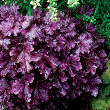 Load image into Gallery viewer, Heuchera 'Forever Purple' (Coral Bells)