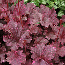 Load image into Gallery viewer, Heuchera 'Midnight Rose' (Coral Bells)