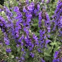 Load image into Gallery viewer, Salvia nemorosa 'Marcus' (Meadow Sage)