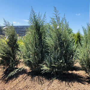 Juniperus scopulorum 'Moonglow' (Juniper)