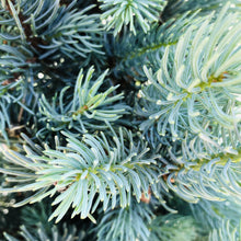 Load image into Gallery viewer, Picea pungens 'Blue Totem' (Spruce)