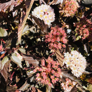 Physocarpus opulifolius 'Seward' (Summer Wine Ninebark)