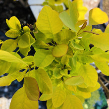 Load image into Gallery viewer, Cotinus coggygria 'Ancot' (Golden Spirit Smoke Bush)