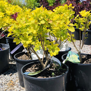 Cotinus coggygria 'Ancot' (Golden Spirit Smoke Bush)