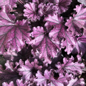 Heuchera 'Forever Purple' (Coral Bells)