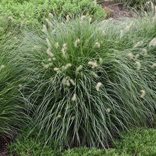 Load image into Gallery viewer, Pennisetum alopecuroides 'Little Bunny' (Fountain Grass)