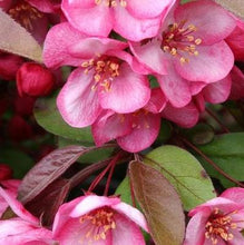 Load image into Gallery viewer, Malus sargentii 'Candymint' (Crabapple)