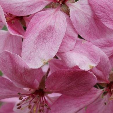 Malus 'Royal Beauty' (Crabapple)