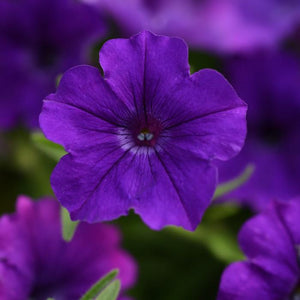 Petunia 'Colorrush Blue'