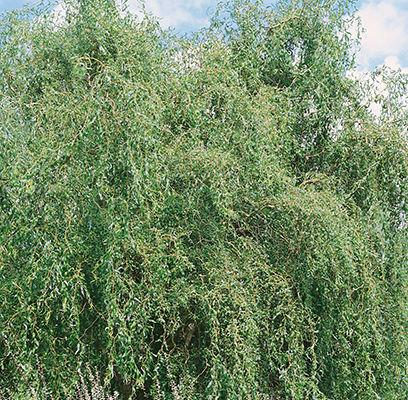 Salix 'Prairie Cascade' (Weeping Willow)