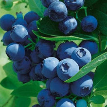 Load image into Gallery viewer, Blueberry Blueray Northern Highbush