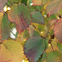 Load image into Gallery viewer, Viburnum dentatum 'Morton' (Northern Burgundy Arrowwood Viburnum)