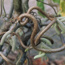Load image into Gallery viewer, Corylus avellana 'Contorta' (Harry Lauder's Walking Stick / European Filbert)