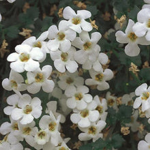 Load image into Gallery viewer, Bacopa 'Betty White'