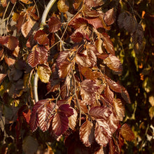 Load image into Gallery viewer, Fagus sylvatica 'Purple Fountain' (Beech)