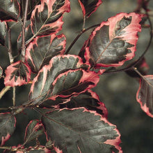 Load image into Gallery viewer, Fagus sylvatica 'Tricolor' (Beech)