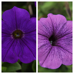 "10"" Petunia Blue & Purple Hanging Baskets"
