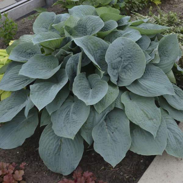 Hosta 'Blueberry Muffin' (Plantain Lily)