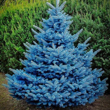Load image into Gallery viewer, Picea pungens 'Blue Diamond' (Spruce)