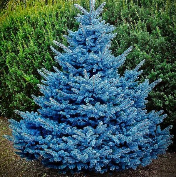 Picea pungens 'Blue Diamond' (Spruce)