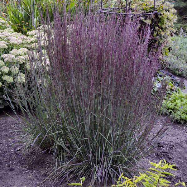 Schizachyrium scoparium 'Blue Paradise' (Little Bluestem)