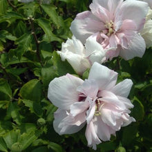 Load image into Gallery viewer, Hibiscus syriacus 'Blushing Bride' (Rose of Sharon)