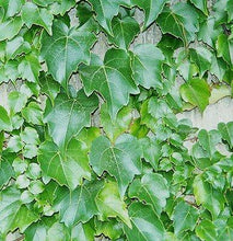 Load image into Gallery viewer, Parthenocissus tricuspidata 'Veitchii' (Boston Ivy)