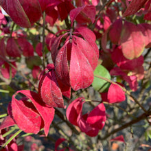 Load image into Gallery viewer, Euonymus alatus 'Compactus' (Dwarf Burning Bush)