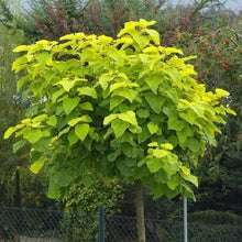 Load image into Gallery viewer, Catalpa Aurea (Golden Indian Bean Tree)