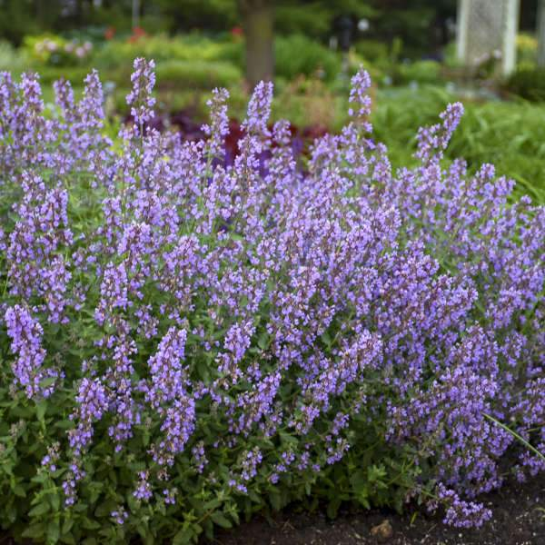Nepeta faasenii 'Cat's Meow' (Catmint)