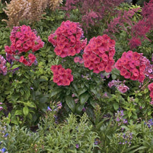 Load image into Gallery viewer, Phlox paniculata 'Barphflare' (Flame Red Garden)