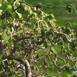 Corylus avellana 'Contorta' (Harry Lauder's Walking Stick / European Filbert)