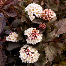 Load image into Gallery viewer, Physocarpus opulifolius 'Monlo' (Diablo Ninebark)