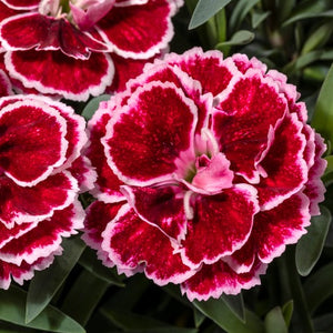 Dianthus 'Crush Burgundy' (Pinks)