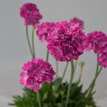 Load image into Gallery viewer, Armeria pseudarmeria 'Dream Weaver' (Sea Thrift)