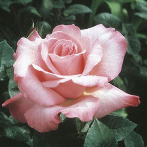 First Prize Hybrid Tea Rose
