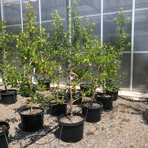 Apple Fuji Espaliered