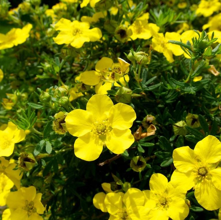 Potentilla fruticosa 'Gold Drop'