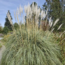 Load image into Gallery viewer, Erianthus ravennae (Hardy Pampas Grass)