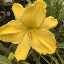 Load image into Gallery viewer, Hemerocallis 'Fragrant Light' (Daylily)