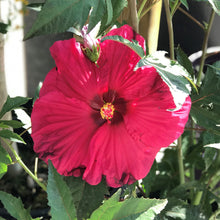 Load image into Gallery viewer, Hibiscus 'Summer in Paradise' (Rose Mallow)