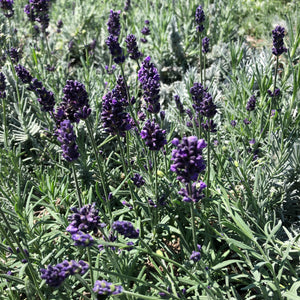 Lavandula angustifolia 'Hidcote Blue' (English)