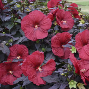 Hibiscus 'Holy Grail' (Rose Mallow)