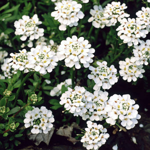 Iberis sempervirens 'Purity' (Candytuff)